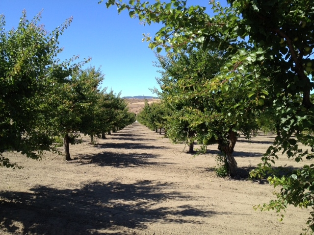 apricot trees orchard